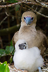 Genovesa Island with a large population of nesting sea birds in the Galapagos National Park, Galapagos, Ecuador.  Pictured here is a red-footed booby chick with its mother in a mangrove near the ocean in Darwin Bay.