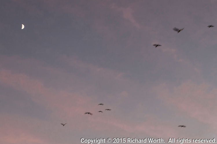 The first quarter moon high in a sunset sky with pale pink clouds while a swoop of gulls with blurred beating wings flies by.