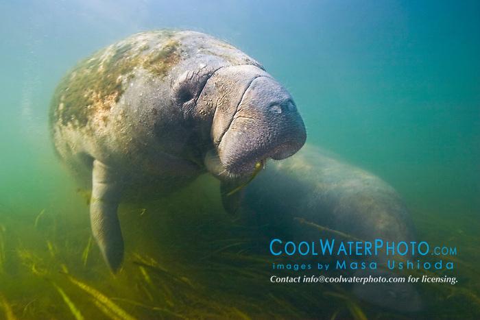 Florida manatee mother and calf, feeding on seagrass, Trichechus manatus latirostris, endangered species, Kings Bay, Crystal River, Florida
