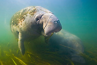 Florida manatee mother and calf, feeding on seagrass, Trichechus manatus latirostris, endangered species, Kings Bay, Crystal River, Florida