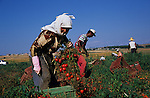 Roma casual agricultural labourers, picking tomatoes. Outside Alexandria, Greece 2006