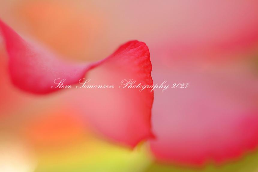 Close up of a dessert rose flower<br /> Caribbean