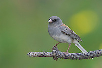 Dark-eyed Junco, Junco hyemalis, Grey-headed type adult perched, Rocky Mountain National Park, Colorado, USA