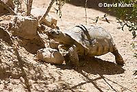 0609-1033  Desert Tortoise (Mojave Desert), Gopherus agassizii  © David Kuhn/Dwight Kuhn Photography