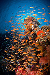 swarms of bright orange anthias (Pseudanthias squamipinnis) - mostly female - on a reef in Ras Mohammed National Park