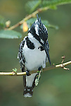 Pied Kingfisher, Ceryle rudis, Lake Langano, Ethiopia, perched over water looking to fish.Africa....