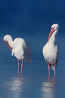 550507010v two wild white ibises eudocimus alba preen in a shallow estuary in the ding darling national wild life refuge on sanibel island florida united states