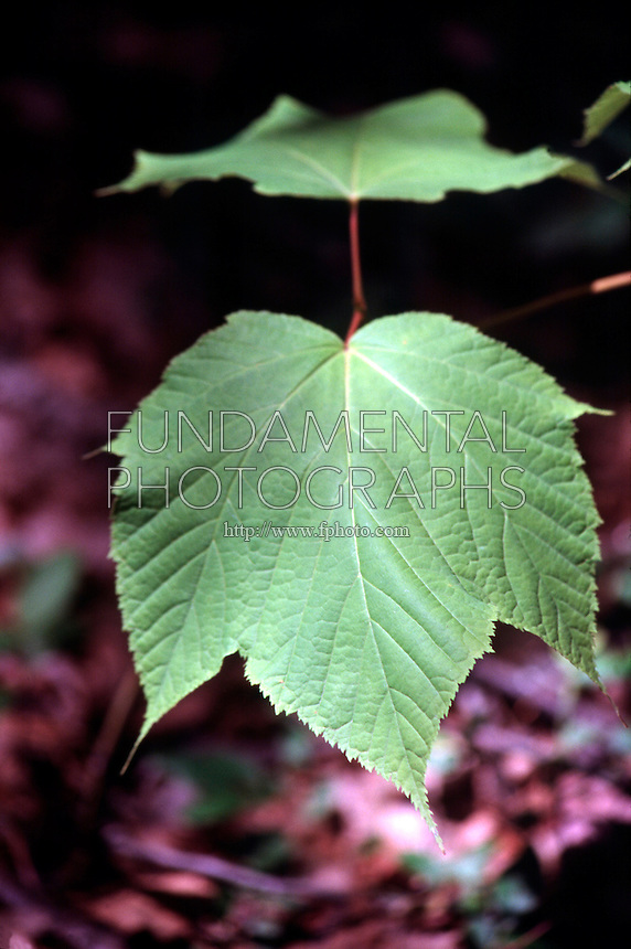 PLANTS<br /> Palmate Leaf Venation