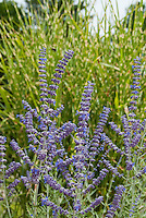Russian sage Perovskia atriplicifolia in summer purple blue bloom in front of ornamental grass Miscanthus sinensis Strictus