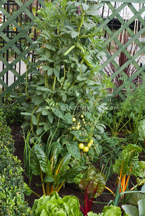 Growing vegetables: beans, tomato, rainbow chard, lettuce salad greens, boxwood, lattic fence