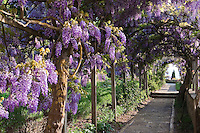 The pergola over the stone path is heavy with purple wisteria
