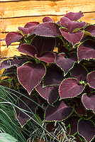 Coleus 'Chocolate Mint' Solenostemon annual foliage plant