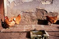 Galline.Chickens....