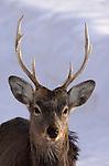 Sika deer, Cervus nippon, adult male with antlers, Shiretoko National Park, Hokkaido Island, Japan, .Japan....