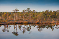 Pintrees Reflecting in Water, Fall, Männikjärve Bog, Endla Nature Reseve, Jõgeva County, Estonia