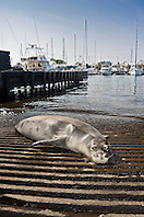 Hawaiian monk seal, Monachus schauinslandi, basking at boat ramp, young male, critically endangered, Honokohau Harbor, Kona Coast, Big Island, Hawaii, Pacific Ocean