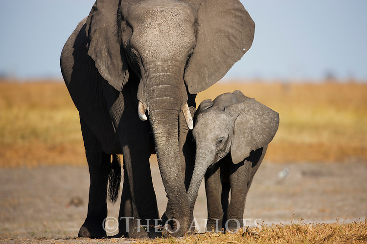Botswana, Chobe National Park, Savuti,  African elephant mother and calf (Loxodonta africana) feeding on Savuti Marsh