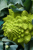 Cauliflower 'Veronica' weird green sputnik shaped vegetable, strange odd bizarre shape