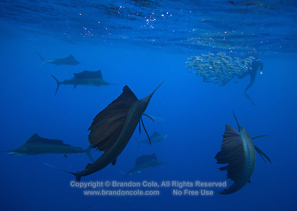 qh0456-D. Atlantic Sailfish (Istiophorus albicans) feeding on sardines. Some consider this the same species as the Indo-Pacific Sailfish (I. platypterus). Mexico, Gulf of Mexico..Photo Copyright © Brandon Cole. All rights reserved worldwide.  www.brandoncole.com..This photo is NOT free. It is NOT in the public domain. This photo is a Copyrighted Work, registered with the US Copyright Office. .Rights to reproduction of photograph granted only upon payment in full of agreed upon licensing fee. Any use of this photo prior to such payment is an infringement of copyright and punishable by fines up to  $150,000 USD...Brandon Cole.MARINE PHOTOGRAPHY.http://www.brandoncole.com.email: brandoncole@msn.com.4917 N. Boeing Rd..Spokane Valley, WA  99206  USA.tel: 509-535-3489