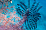 Paradise House Reef, Taveuni, Fiji; a deep purple feather star is attached to the end of a pink soft coral (Dendronephthya sp.)