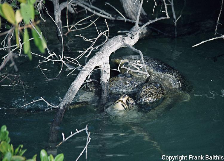 Green Sea Turtles Mating Black Turtle Cove Santa Cruz