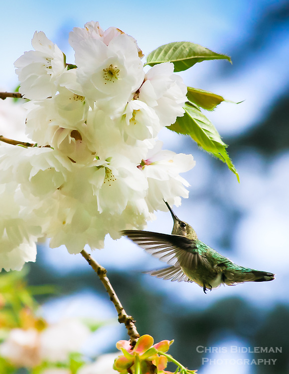 Gift card photo (set of 4) of Anna's Hummingbird feeding on cherry blossoms in the Spring