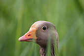 A close up image of a Greylag Goose (Anser anser) head portrait, in amoungst Bulrushes.
