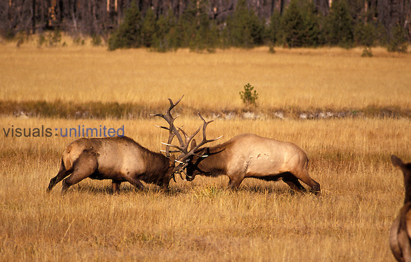 Bull Elk sparring ,Cervus canadensis, North America