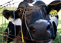 Sonoma County Organic Dairy Cows
