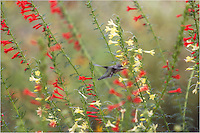 In a field of red and yellow Texas Star (also known as Standing Cypress), this hummingbird takes a second to poke his tongue into each petal. This Texas Wildflower image was captured on our property in the Texas Hill Country.