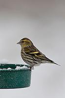 Erlenzeisig, Weibchen an der Vogelfütterung, Fütterung im Winter bei Schnee, Winterfütterung, Erlen-Zeisig, Zeisig, Carduelis spinus, Spinus spinus, siskin