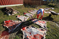 Reindeer hides put on the ground to dry. Slaughtering season, Gåbrien Sijte, Brekken in Mid-Norway.