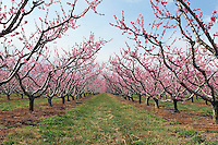Flowering peach trees in the spring in Crozet, VA. Photo/Andrew Shurtleff