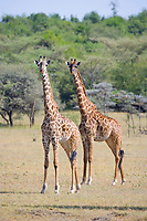 Masai giraffe, Serengeti National Park, Tanzania, East Africa