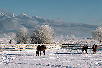 "Horses in Snow Covered Pasture, and ""Golden Ears"" Mountains (Coast Mountains) in Golden Ears Provincial Park, Southwestern BC, British Columbia, Canada, Fraser Valley in Winter"