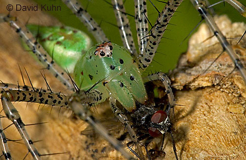 "0515-07qq  Green Lynx Spider  Consuming Fly - Peucetia viridans  ""Eastern Variation"" - © David Kuhn/Dwight Kuhn Photography"