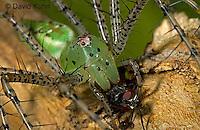 "0515-07qq  Green Lynx Spider  Consuming Fly - Peucetia viridans  ""Eastern Variation"" - © David Kuhn/Dwight Kuhn Photography"