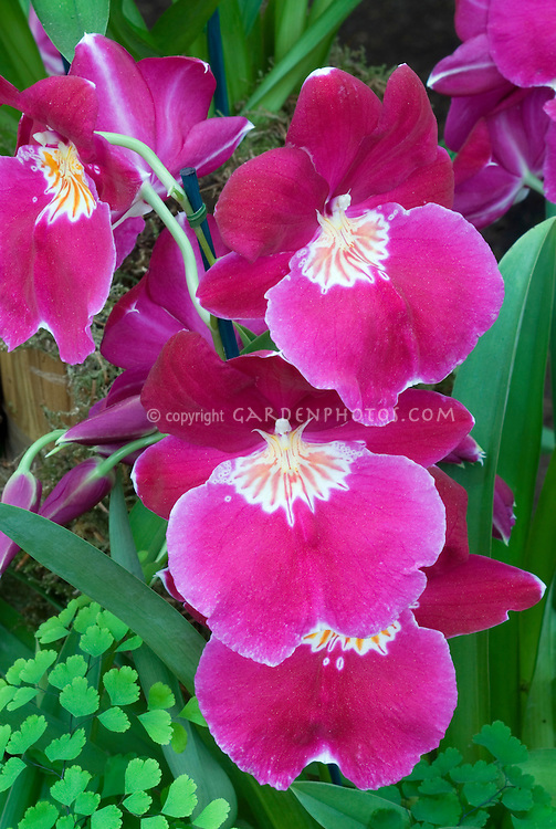 Miltonia orchid French Lake 'Sugar Plum'in vivid red and pink with waterfall pattern on lip