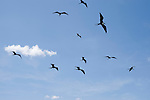 Puerto Ayora, Santa Cruz Island, Galapagos, Ecuador; frigatebirds flying over the fishing pier at Pelican Point, hoping for a free meal as fishermen clean their catch , Copyright © Matthew Meier, matthewmeierphoto.com All Rights Reserved