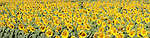 panoramic view of Sunflowers (Helianthus annuus), common sunflower, growing in a field in the Imperial Valley along highway 86 between Brawley and El Centro, California