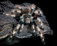 Brazilian Black and White Tarantula (Nhandu coloratovillosus), captive.