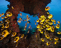 Schooling Raccoon Butterflyfish (Chaetodon lunula), Lanai, Hawaii, USA. Digital composite