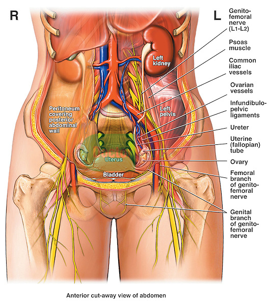This medical illustration shows a front view of female abdominal anatomy. The image features labels for the following anatomical structures genitofemoral nerve, psoas muscle, common iliac vessels (artery and vein), ovarian vessels, infundibulopelvic ligaments, ureter, uterine (fallopian) tube, ovary, genital branch of genitofemoral nerve and the femoral branch of the genitofemoral nerve.