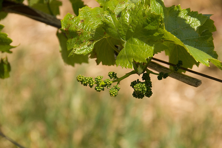 California, San Luis Obispo County: Buds in grape fields at Edna Valley Vineyard, chardonnay..Photo caluis113-70785..Photo copyright Lee Foster, www.fostertravel.com, 510-549-2202, lee@fostertravel.com