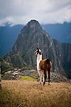 A baby alpaca stand guard over Machu Picchu, Peru