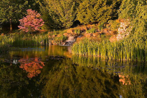 Reflection of a Pink Dogwood in pond, Oregon Gardens, Silverton, Oregon, USA
