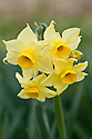Daffodil (Narcissus 'Avalanche of Gold'), a Division 8 Tazetta variety, mid February.