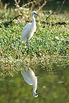 Little Egret, at edge of water, Egretta garzetta, Keoladeo Ghana National Park, Rajasthan, India, formerly known as the Bharatpur Bird Sanctuary, UNESCO World Heritage Site, reflection, fishing.India....