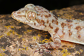 Socotran Rock Gecko head (Hemidactylus inintellectus) endemic to Socotra, Yemen.
