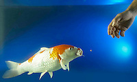 1 one Koi fish tropical oriental fish beinf hand fed feeding